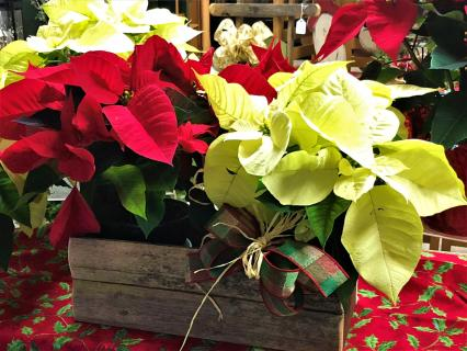 Poinsettias in Rustic wooden container