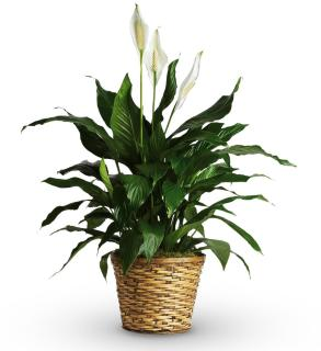 Large floor plant peace lily
